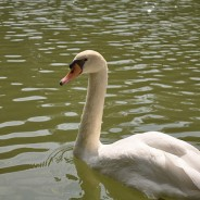 Picture of the Day: A Swan at the Botanical Gardens in Singapore